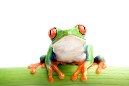 frog on bamboo - red-eyed tree frog sitting on green bamboo, macro with shallow dof and focus on the eyes Stock Photo