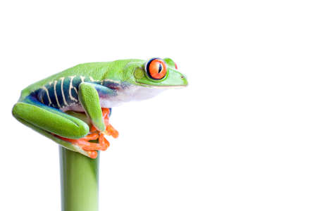 agalychnis: frog on top of bamboo, red-eyed tree frog (Agalychnis callidryas) closeup isolated on solid white