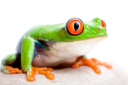 agalychnis: frog on rock against solid white background, red-eyed tree frog macro (Agalychnis callidryas) with focus on  eye
