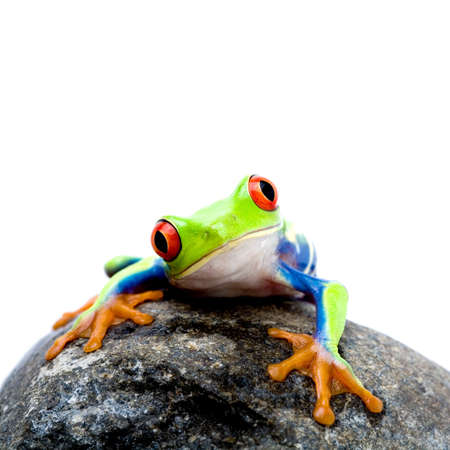 frog on a rock, a red-eyed tree frog (Agalychnis callidryas) closeup isolated on white, square crop photo