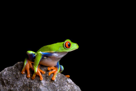 redeyed tree frog: frog on a rock isolated on black background, red-eyed tree frog (Agalychnis callidryas) Stock Photo