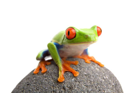 frog on a rock, closeup of a red-eyed tree frog (Agalychnis callidryas) sitting on a rock, isolated on white Stock Photo