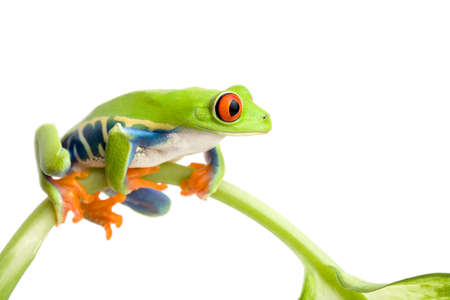 agalychnis: frog sitting on a stem isolated on white, red-eyed tree frog (Agalychnis callidryas)