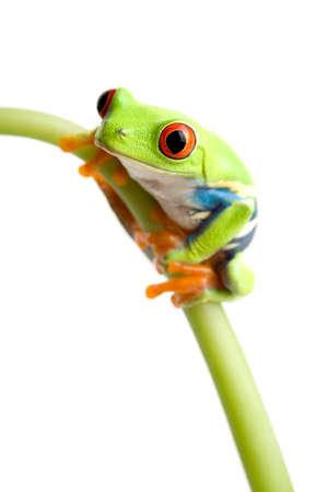 red-eyed tree frog (Agalychnis callidryas) on stem of plant, closeup isolated on white with focus on eye