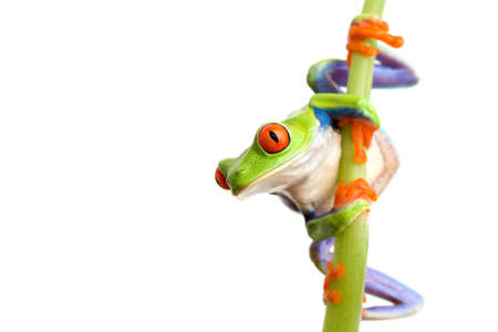 redeyed tree frog: frog climbing on bamboo, closeup of red-eyed tree frog (Agalychnis callidryas) isolated on white