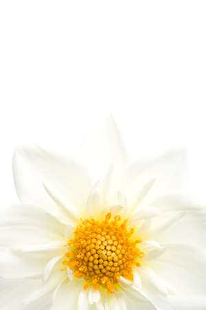 dahlia isolated on white, a white dahlia highkey macro photo