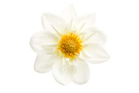 dahlia closeup - a white dahlia shot isolated on white photo