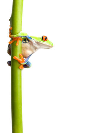 frog on a green plant stem isolated on white, a red-eyed tree frog (Agalychnis callidryas) closeup photo