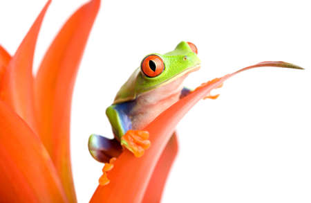 agalychnis: frog (red-eyed tree frog, Agalychnis callidryas) on a guzmania, isolated on white