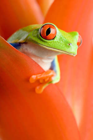 frog in a plant - red-eyed tree frog peeking out from a guzmania. closeup, focus on eye. Stock Photo