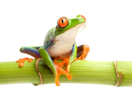 sapo: rana que se sienta en bamb� verde y que mira para arriba, una macro rojo-red-eyed de la rana del �rbol con la profundidad del campo limitada