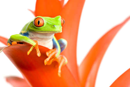 frog perched on the leaf of a guzmania, a red-eyed tree frog (Agalychnis callidryas) closeup on white Stock Photo