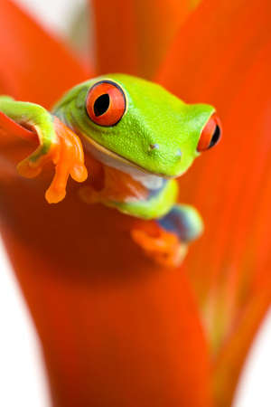 frog peeking out from a plant - a red-eyed tree frog (Agalychnis callidryas) closeup