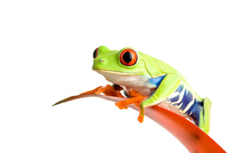 guzmania: frog on a leaf isolated on white, a red-eyed tree frog (Agalychnis callidryas) perched on the leaf of a guzmania, closeup. Stock Photo