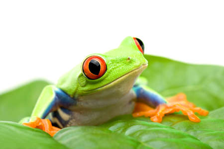 agalychnis: frog on a leaf - red-eyed tree frog (Agalychnis callidryas) sitting on a leaf, close up isolated on white Stock Photo