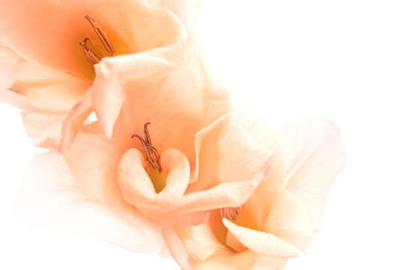 highkey: gladiola  gladiolus background - a highkey, low contrast, abstract closeup shot isolated on white. also referred to as the sword lily.