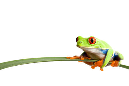 green frog: frog on a leaf - a red-eyed tree frog (agalychnis callidryas) closeup, sitting on a long leaf, isolated on white with ample copyspace Stock Photo