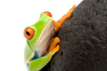 redeyed tree frog: red-eyed tree frog (agalychnis callidryas) on a rock, closeup isolated on white, focus on eye Stock Photo