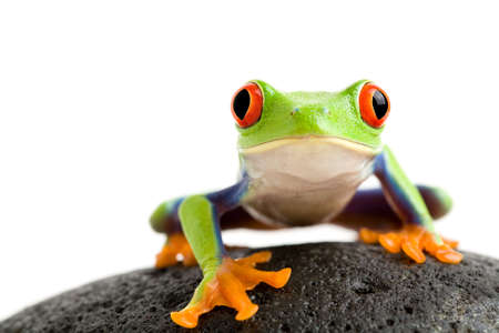 green tree frog: frog on a wet rock - a red-eyed tree frog (Agalychnis callidryas) closeup isolated on white