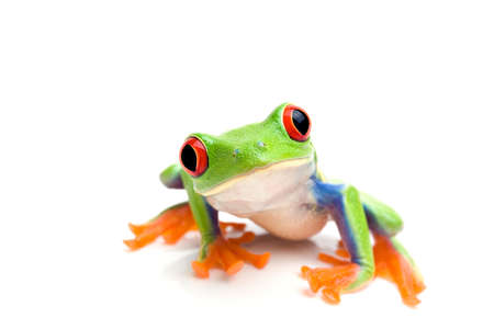 green eyes: frog macro - a red-eyed tree frog (Agalychnis callidryas) isolated on white Stock Photo
