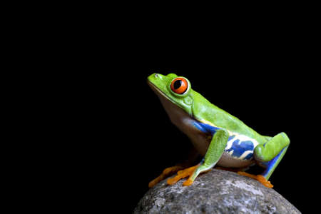 callidryas: frog on a rock - a red eyed tree frog (Agalychnis callidryas) sitting on a rock shot isolated on black Stock Photo