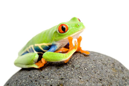 treefrog: daydreaming - a red-eyed tree frog on a rock, closeup isolated on white