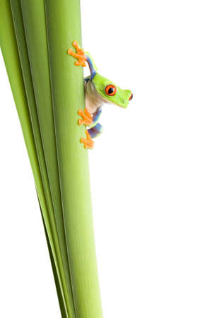 agalychnis: frog on a plant - a red eyed tree frog (Agalychnis callidryas) isolated on white
