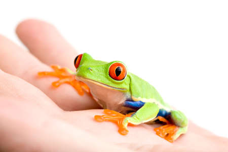 callidryas: frog in hand - a red-eyed tree frog (Agalychnis callidryas) sitting in a hand, isolated on white