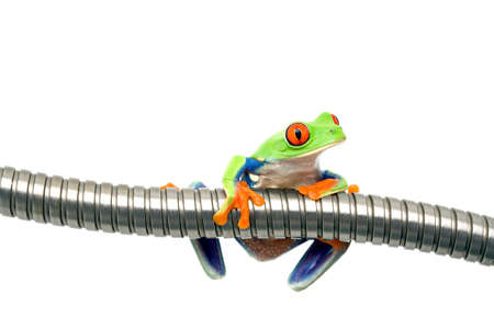 agalychnis: frog on metal isolated on white - a red-eyed tree frog (Agalychnis callidryas) closeup