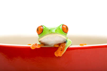 green tree frog: frog in a cooking pot - poor red-eyed tree frog (Agalychnis callidryas) looking out of a red cooking pot, isolated on white Stock Photo