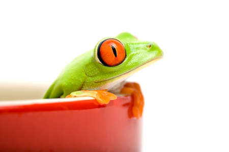 frog in a pot isolated on white - a red-eyed tree frog (Agalychnis callidryas) closeup, focus on eye photo