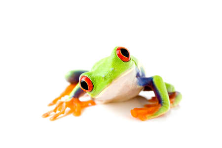 curiously: frog curiously looks into camera - a red-eyed tree-frog (Agalychnis callidryas) macro with focus on eyes, isolated on white