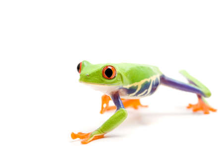 agalychnis: frog isolated on white, closeup of a red-eyed tree frog (Agalychnis callidryas) Stock Photo