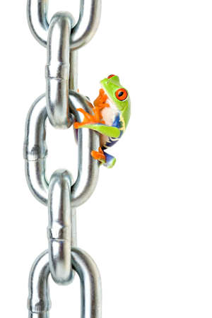 panicking: frog on a chain isolated on white, a red-eyed tree frog (Agalychnis callidryas) pondering how hes going to get back down... or has he forgotten something at home? lol Stock Photo