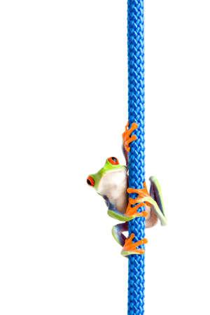 blue frog: rana colgando de una cuerda - uno de ojos rojos Rana de �rbol (Agalychnis callidryas) colgando de una cuerda azul, closeup aislados en blanco