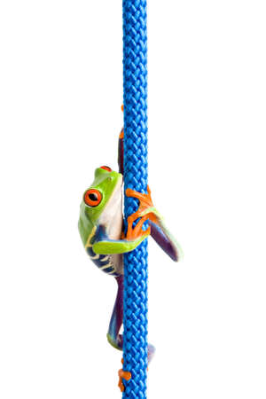 agalychnis: frog climbing up a blue rope - a red-eyed tree frog (Agalychnis callidryas) macro isolated on white