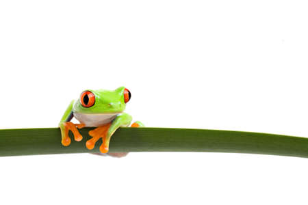 green frog: tree frog perched on a long slim leaf, red-eyed tree frog (Agalychnis callidryas) closeup isolated on white