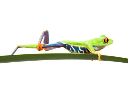 callidryas: frog cleaning itself - a red-eyed tree frog (Agalychnis callidryas) on a leaf, using one of its long hind legs and big webbed to wipe down the other leg. Closeup isolated on white. Stock Photo