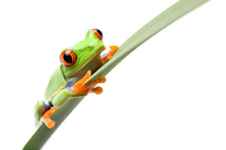 agalychnis: frog sitting on a narrow leaf, a red-eyed tree frog (Agalychnis callidryas) close up isolated on white