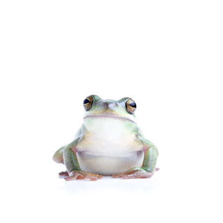 green tree frog: frog isolated on white - a green tree frog looking into camera
