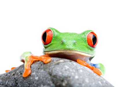 grenouille: grenouille sur la recherche rock - un rouge-eyed rainette (Agalychnis callidryas) de pr�s isol� sur blanc  Banque d'images