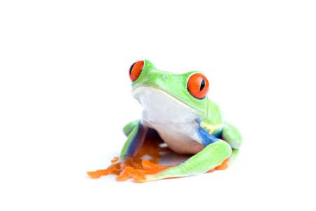 callidryas: frog isolated on white - red-eyed tree frog posing, close up Stock Photo