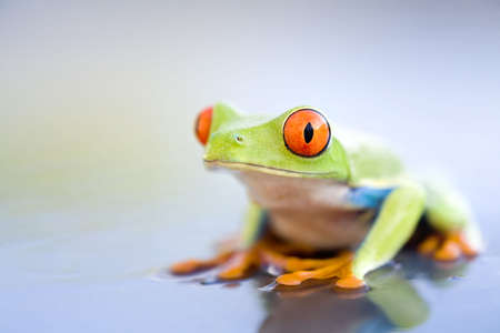 frog on wet metal - a red-eyed tree frog (Agalychnis callidryas) close up with copyspace photo
