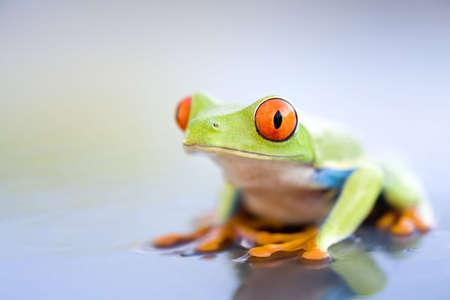 treefrog: frog on wet metal - a red-eyed tree frog (Agalychnis callidryas) close up with copyspace