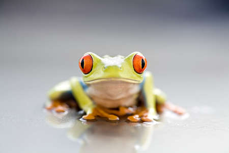 frog closeup - a red-eyed tree frog (Agalychnis callidryas) macro with focus on eyes photo