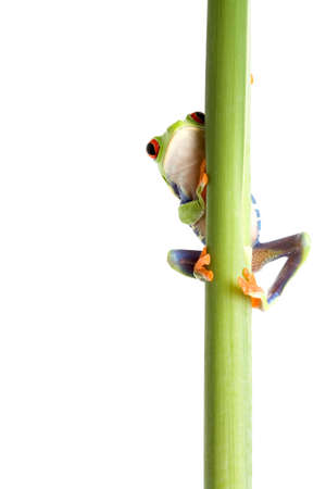 agalychnis: frog behind a plant - a red-eyed tree frog (Agalychnis callidryas) closeup isolated on white Stock Photo