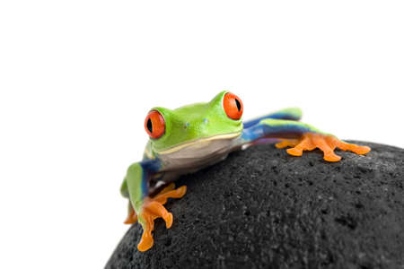agalychnis: frog on a wet rock, a red-eyed tree frog (agalychnis callidryas) macro shot isolated on white