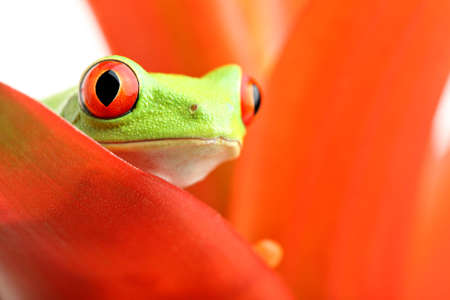 red frog: red-eyed tree frog (Agalychnis callidryas) macro, looking out from a plant
