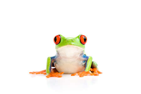 redeyed tree frog: frog closeup - a red-eyed tree frog isolated on white Stock Photo