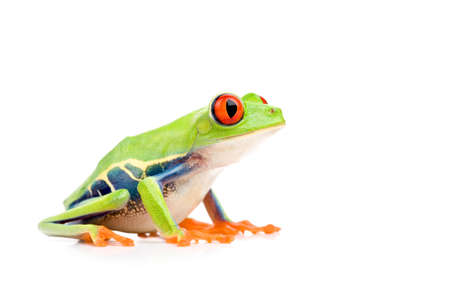 frogs: red-eyed tree frog (Agalychnis callidryas) closeup side view isolated on white